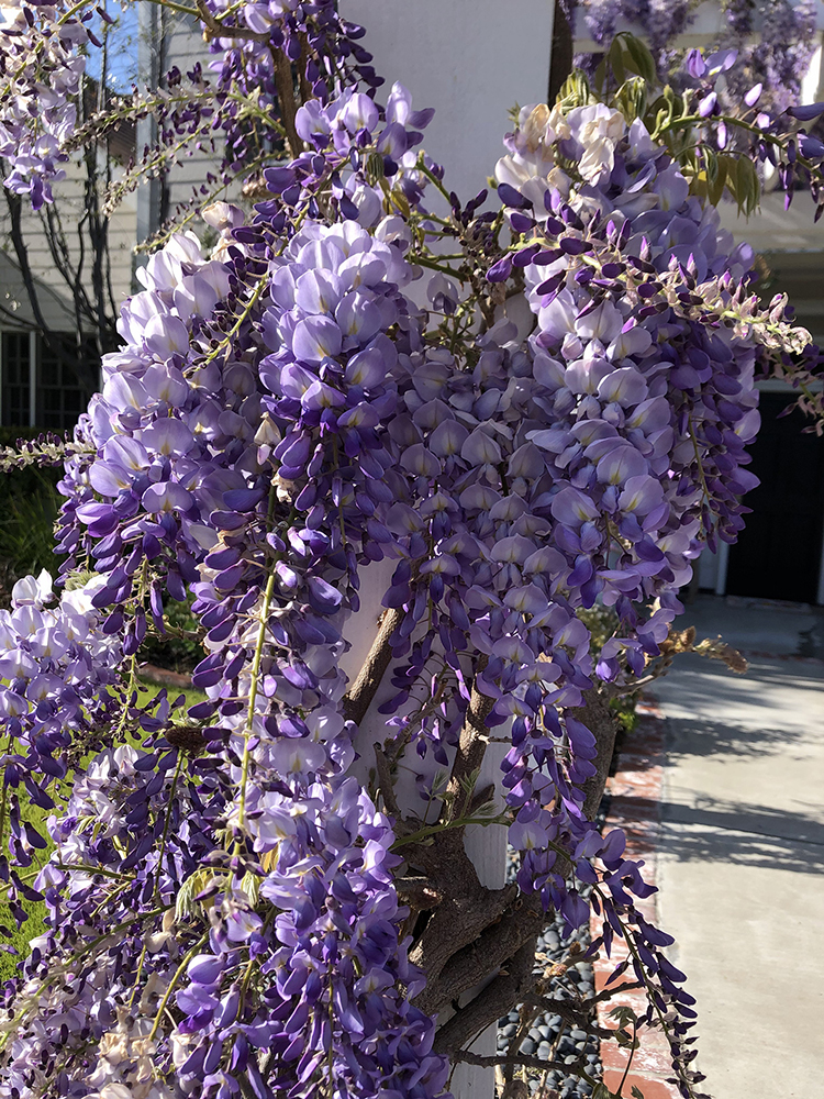 The author has purchased more wisterias and put them around the garden since planting the Pergola. This tree wisteria is Wisteria sinensis 'Cooke's Purple'.  Photo credit: Francesca Filanc.