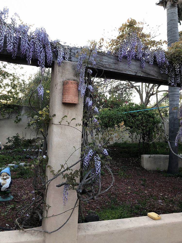 The way the wisteria looks today at Francesca's previous home.